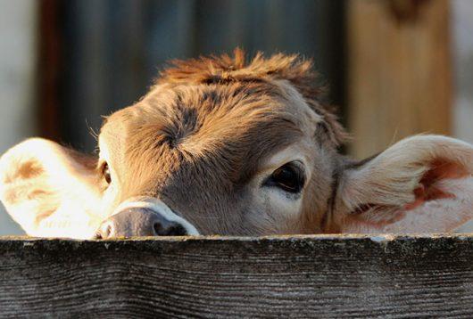 producción de carne celular